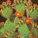 Still Life - Prickly Pears 20x20  $3500