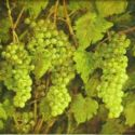 Still Life - white grapes 16x20  $2500